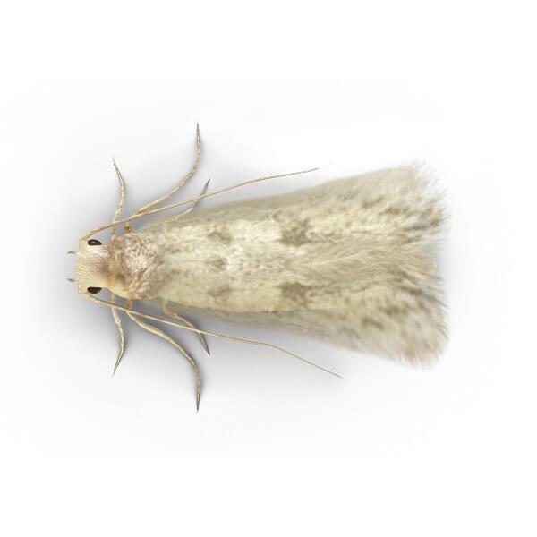 Clothes Moths